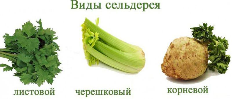 Сельдерей для похудения - польза и вред